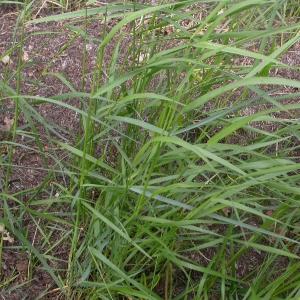 Photographie n°9534 du taxon Elymus pycnanthus (Godr.) Melderis