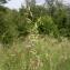 Julien BARATAUD - Festuca pratensis subsp. pratensis