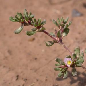 Photographie n°9613 du taxon Frankenia pulverulenta L.