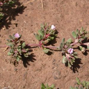 Photographie n°9614 du taxon Frankenia pulverulenta L.