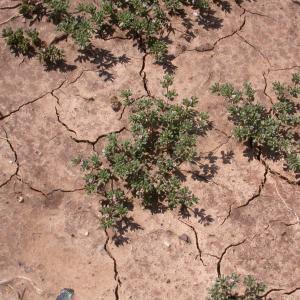 Photographie n°9615 du taxon Frankenia pulverulenta L.