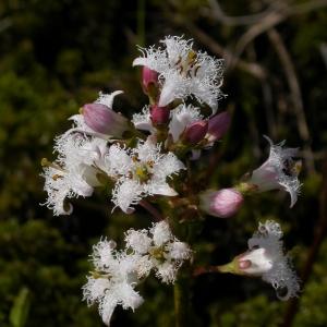 Photographie n°9622 du taxon Menyanthes trifoliata L. [1753]