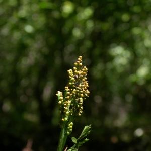 - Botrychium matricariifolium (A.Braun ex Döll) W.D.J.Koch [1846]