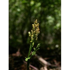 Botrychium matricariifolium (A.Braun ex Döll) W.D.J.Koch [1846] (Botryche à feuilles de camomille)