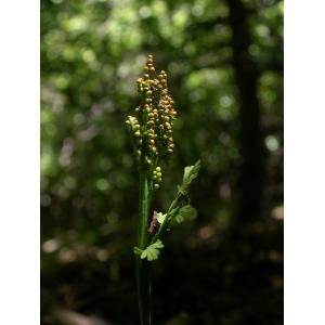 Botrychium matricariifolium (A.Braun ex Döll) W.D.J.Koch (Botryche à feuilles de camomille)