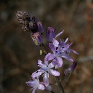 Photographie n°9929 du taxon Scilla autumnalis L. [1753]
