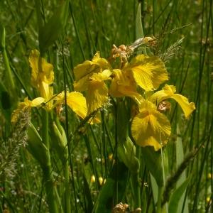 Photographie n°9957 du taxon Iris pseudacorus L. [1753]