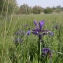 Julien BARATAUD - Iris spuria subsp. maritima (Lam.) P.Fourn. [1935]
