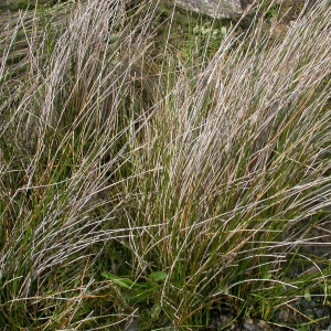 Photographie n°9973 du taxon Juncus maritimus Lam.