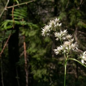 Photographie n°9982 du taxon Luzula nivea (L.) DC.