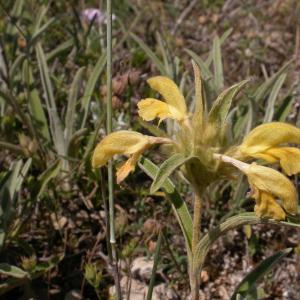 Photographie n°10013 du taxon Phlomis lychnitis L.
