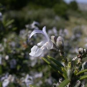 Photographie n°10021 du taxon Rosmarinus officinalis L.