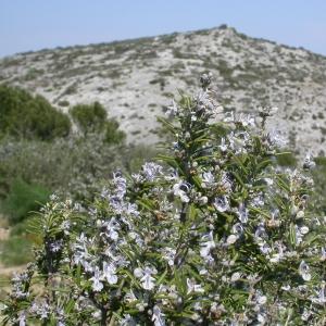 Photographie n°10022 du taxon Rosmarinus officinalis L.
