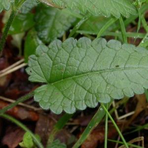 Photographie n°10025 du taxon Stachys officinalis (L.) Trévis. [1842]
