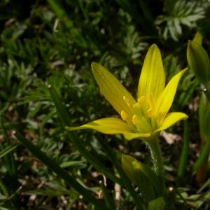 Photographie n°10063 du taxon Gagea fragifera (Vill.) E.Bayer & G.López