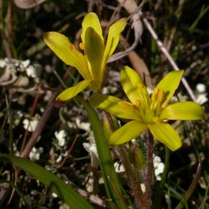 Photographie n°10079 du taxon Gagea lacaitae A.Terracc. [1904]