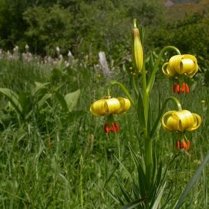 Photographie n°10084 du taxon Lilium pyrenaicum Gouan