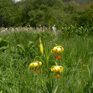 Photographie n°10086 du taxon Lilium pyrenaicum Gouan