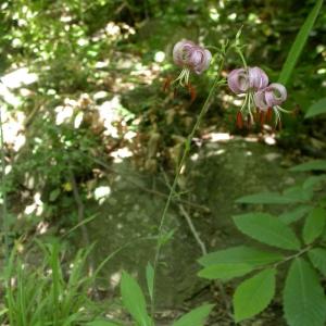Photographie n°10093 du taxon Lilium martagon L.