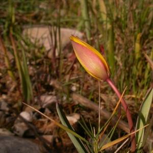 Photographie n°10094 du taxon Tulipa sylvestris subsp. australis (Link) Pamp.