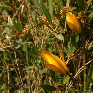 Photographie n°10095 du taxon Tulipa sylvestris subsp. australis (Link) Pamp.