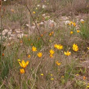 Photographie n°10097 du taxon Tulipa sylvestris subsp. australis (Link) Pamp.