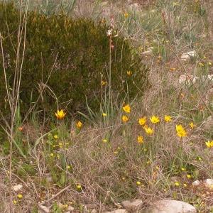 Photographie n°10098 du taxon Tulipa sylvestris subsp. australis (Link) Pamp.