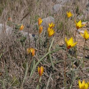 Photographie n°10099 du taxon Tulipa sylvestris subsp. australis (Link) Pamp.