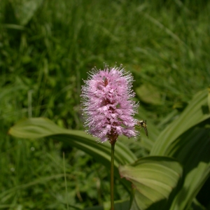 Photographie n°10478 du taxon Polygonum bistorta L.