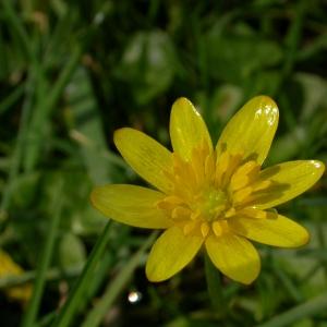 Photographie n°10599 du taxon Ranunculus ficaria L.
