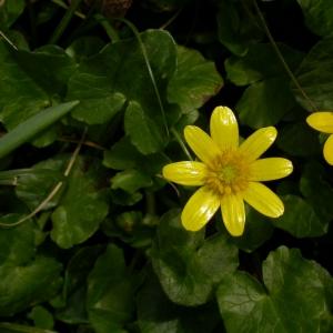 Photographie n°10600 du taxon Ranunculus ficaria L.