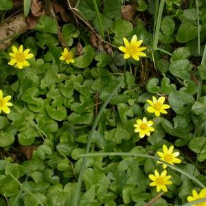 Photographie n°10601 du taxon Ranunculus ficaria L.