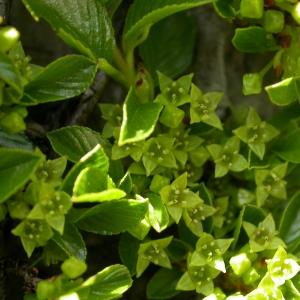 Rhamnus pumila Turra (Nerprun nain)