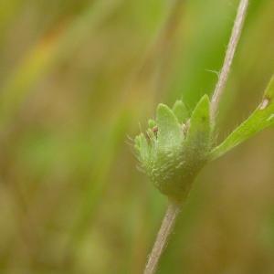 Aphanes australis Rydb. [1908] (Alchémille à petits fruits)