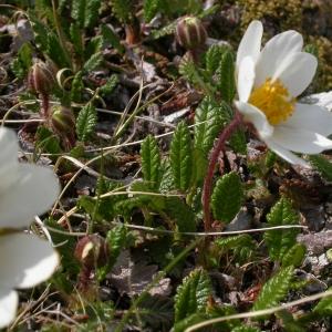 Photographie n°10654 du taxon Dryas octopetala L.