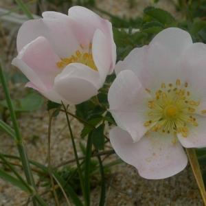 Photographie n°10673 du taxon Rosa pimpinellifolia L. [1759]