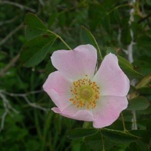 Photographie n°10694 du taxon Rosa canina L.