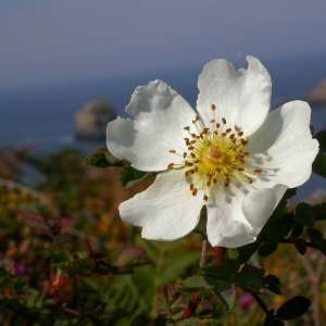 Photographie n°10696 du taxon Rosa canina L.