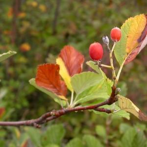 Photographie n°10704 du taxon Sorbus aria (L.) Crantz