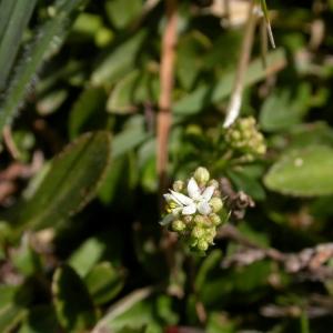 Photographie n°10706 du taxon Galium saxatile L.
