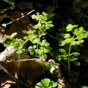 Photographie n°10735 du taxon Chrysosplenium oppositifolium L.