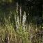 Julien BARATAUD - Anarrhinum bellidifolium (L.) Desf. [1799]