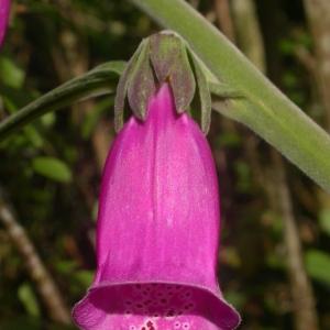 Photographie n°10756 du taxon Digitalis purpurea L. [1753]