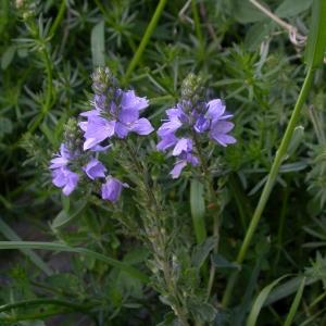 Photographie n°10799 du taxon Veronica austriaca subsp. teucrium (L.) D.A.Webb [1972]