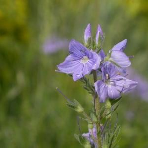 Photographie n°10800 du taxon Veronica austriaca subsp. teucrium (L.) D.A.Webb [1972]