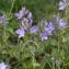 Julien BARATAUD - Veronica austriaca subsp. teucrium (L.) D.A.Webb [1972]