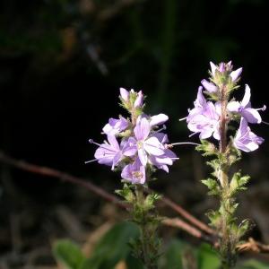 Photographie n°10805 du taxon Veronica officinalis L.