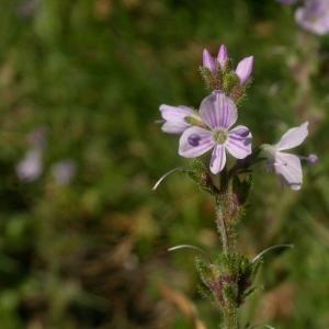 Photographie n°10806 du taxon Veronica officinalis L.