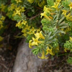 Photographie n°10825 du taxon Thymelaea dioica (Gouan) All. [1789]