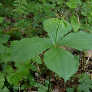 Photographie n°10828 du taxon Paris quadrifolia L. [1753]